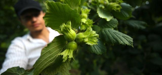 Batı Karadeniz'de fındık üreticileri hasada hazırlanıyor