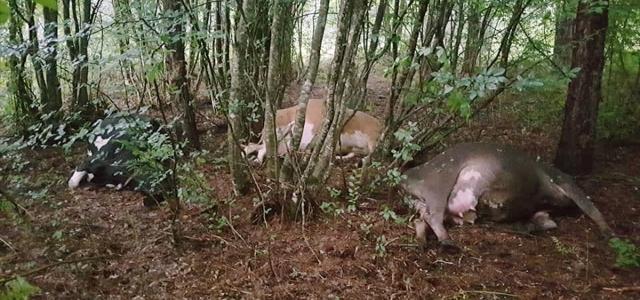 Bolu'da yıldırım isabet eden 3 inek telef oldu
