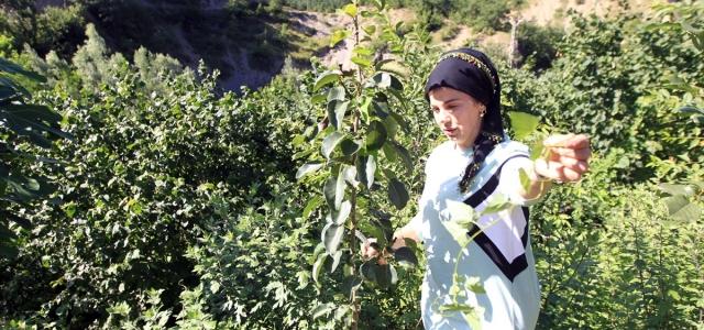 Doğada dolaşıp yabani meyve ağaçlarını aşılıyor