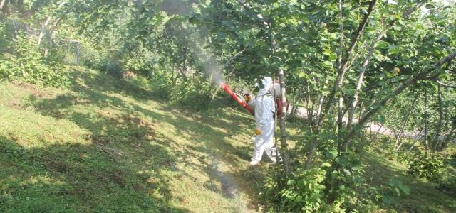 Fındık bahçelerinde külleme hastalığı ile mücadele