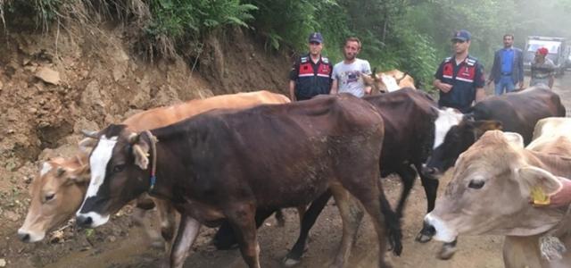 Gümüşhane'de çalınan inekler Trabzon'da bulundu!