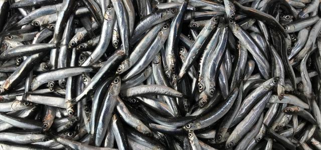 Gürcistan karasularında avlanan hamsinin satışına başlandı