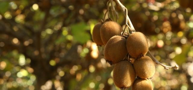 Kastamonulu üretici kivi hasadından memnun