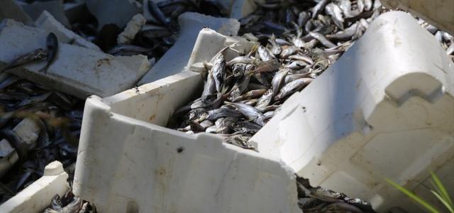 Ordu'da ırmak kenarına dökülen balıklarla ilgili inceleme
