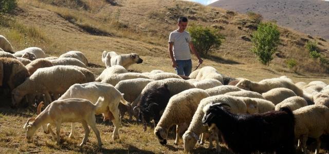 Taksitle aldığı koyunlarla köyüne yerleşti, sürüsünü 5 katına çıkardı