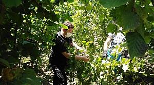 Altınordu Belediye Başkanı Tören, ailesiyle fındık hasadı yaptı