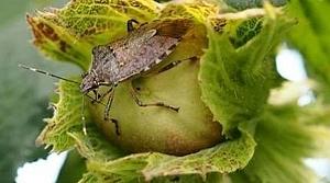 Fındığa zarar veren böcek için çözüm Çin'de bulundu
