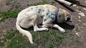 Kastamonu'da av tüfeğiyle vurulan köpeğin vücudundan 25 saçma çıkarıldı