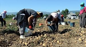 Niksar patatesi Türkiye'nin dört bir yanında sofraları lezzetlendiriyor