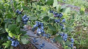 Ordu'da mavi yemiş üretimi yaygınlaştırılıyor