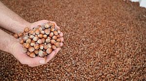 Türkiye'den 4 ayda 158 bin ton iç fındık ihraç edildi