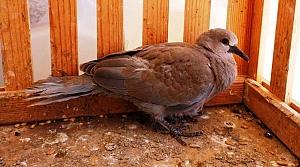 Yaralı kumru kuşu doğaya salındı
