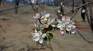 Yusufeli'ndeki meyve ağaçlarından 1144'ü, ilçenin yeni yerleşim alanına taşındı