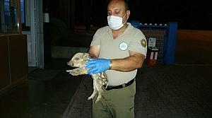 Zonguldak'ta vurulan yaban domuzunun yavrusu koruma altına alındı