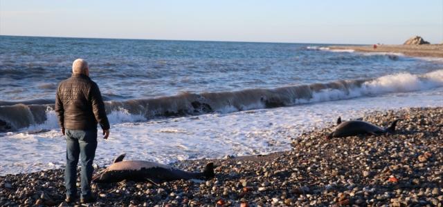 Zonguldak'ta 2 ölü yunus kıyıya vurdu